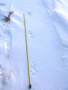 wolf-tracks-7