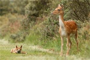 fox_deer